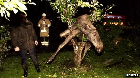 Drunken elk stuck in tree, Saro, Sweden, 6 September 2011
